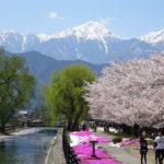 【安曇野の拾ヶ堰】青空に映える用水路沿いの桜並木と芝桜と北アルプス