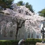 あがたの森公園のしだれ桜は一足先に満開
