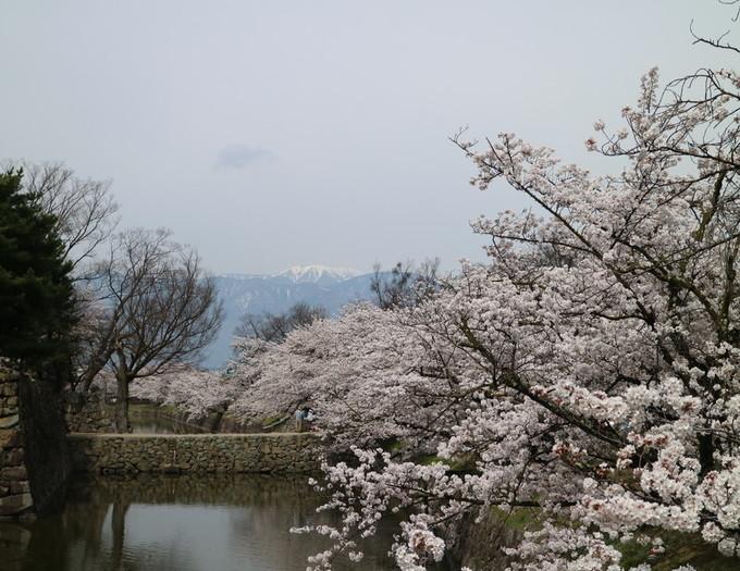 満開になった松本城の桜