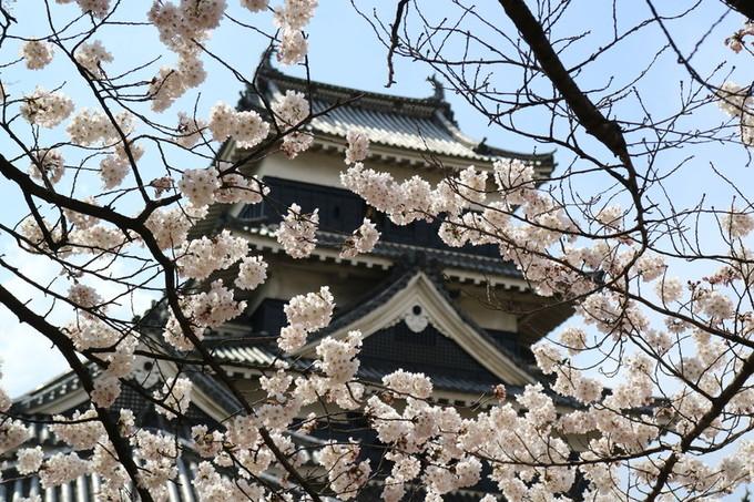 七部咲きの松本城の桜