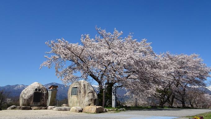 満開の桜と早春賦の碑