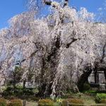 【安養寺のしだれ桜】圧巻!老しだれ桜の巨木から降り注ぐ桜のシャワー