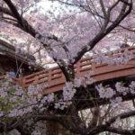 【高遠城址公園】天下第一の桜と称される1500本のコヒガンザクラ