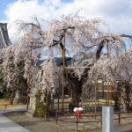 【兎川霊瑞寺のしだれ桜】狛犬が優しく睨みつける聖徳太子ゆかりの寺