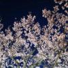 【高遠城址公園の夜桜】ライトアップでより鮮明になる高遠の桜並木