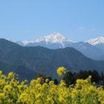 【堀金物産センター】青空と残雪の北アルプスを背景に輝く菜の花