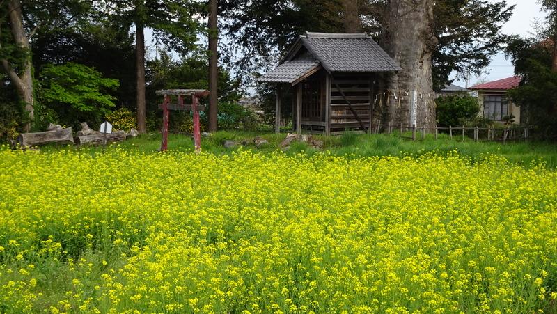 馬場家住宅と菜の花