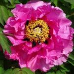【玄向寺の牡丹】境内に咲き誇る色鮮やかな大輪の牡丹