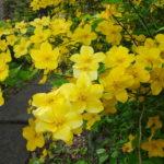 【里山辺の広沢寺】人気のない参道を彩るヤマブキの花