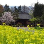 【馬場家住宅と菜の花】重要文化財である古い民家の前に広がる菜の花