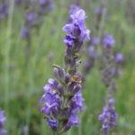 【信州スカイパークのラベンダー畑】ほのかに香る淡い紫色の花