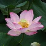 【国宝松本城の蓮と睡蓮】見る者を魅了する大輪のハス