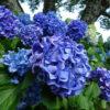 【梓川ふるさと公園】修景池沿いの小道に咲くあじさい