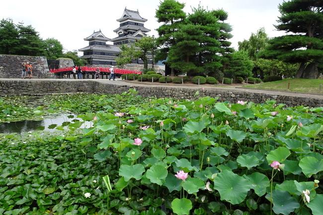 松本城の蓮と睡蓮