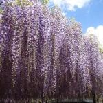 【徳運寺の藤の花】春に咲く二色藤から漂う甘い香り
