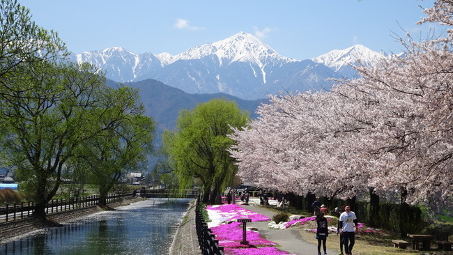 桜と拾ヶ堰と芝桜と常念岳