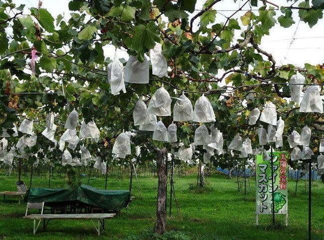 須坂のぶどう園