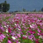 安曇野で見つけた鉢植えのコスモス畑