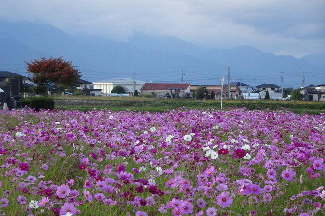 新村のコスモス畑