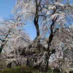 安養寺のしだれ桜を見に今年も行ってきました!
