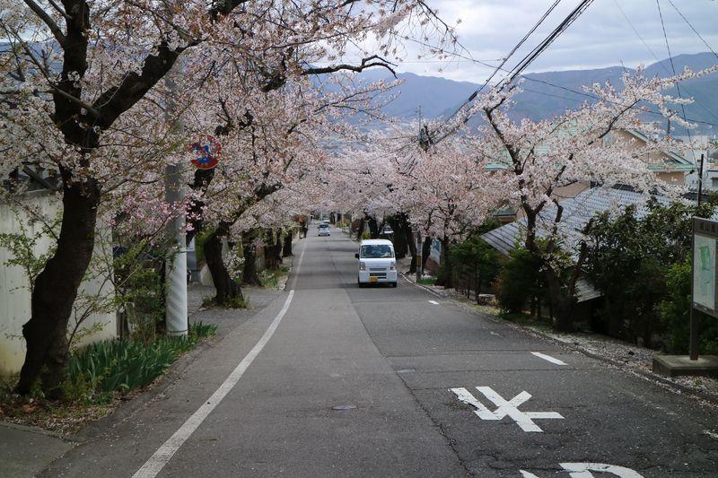 城山公園に行く途中の桜のトンネル