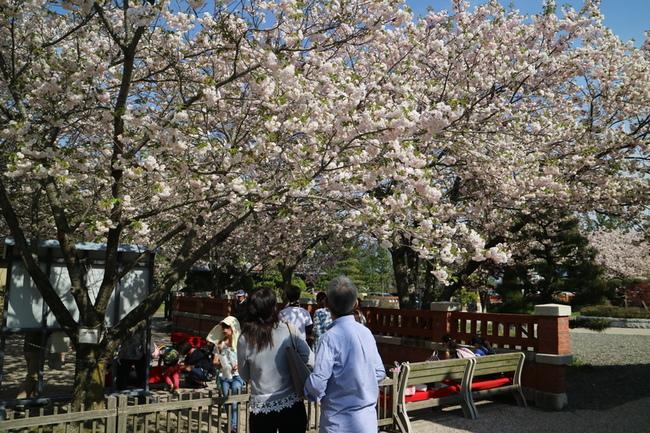 歴史の里の八重桜