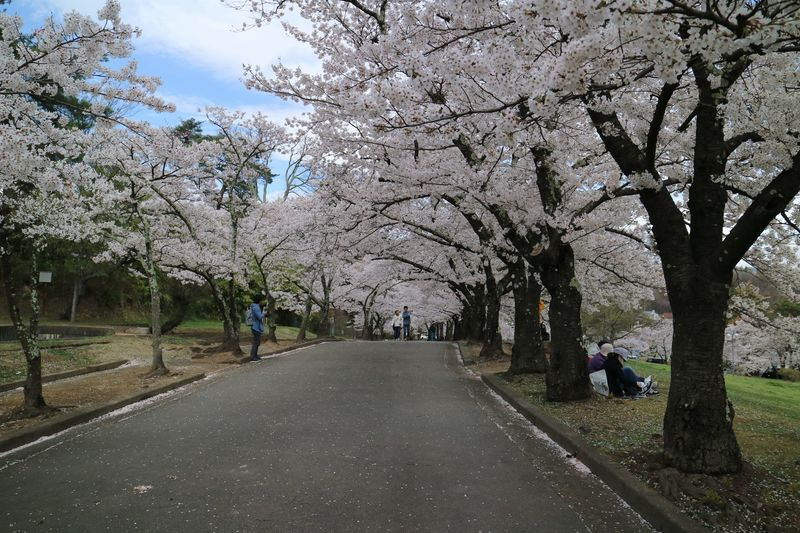 城山公園の桜のトンネル