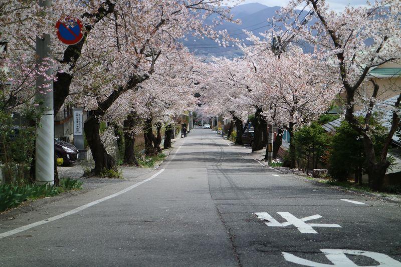 城山公園に行く道の桜