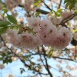 松本市歴史の里の八重桜は今が満開