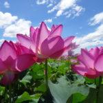 安曇野で節操なく生い茂る蓮の花