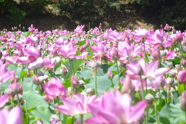 安曇野の蓮の花