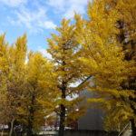 黄葉が美しいキッセイ文化ホールのイチョウ並木