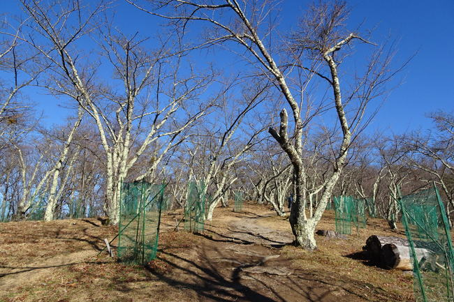 光城山山頂付近の桜並木