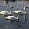 犀川で越冬する白鳥が134羽を超えました!