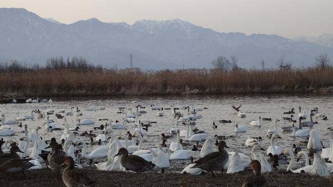2015年の白鳥の様子