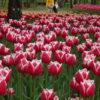 国営アルプスあづみの公園で開催されたチューリップ祭り