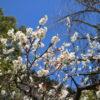 深志神社の梅は今が満開!