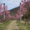 廃線敷桜並木