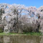 安養寺のしだれ桜2019