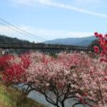 桃介橋と桜