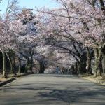 今年も城山公園の桜のトンネルを見に行ってきました!