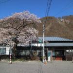 田沢駅の一本桜