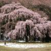 伊那市春日公園の桜