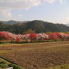 須原発電所近くの桜並木